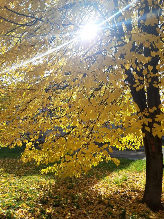 Осеннее солнце и желтые листья