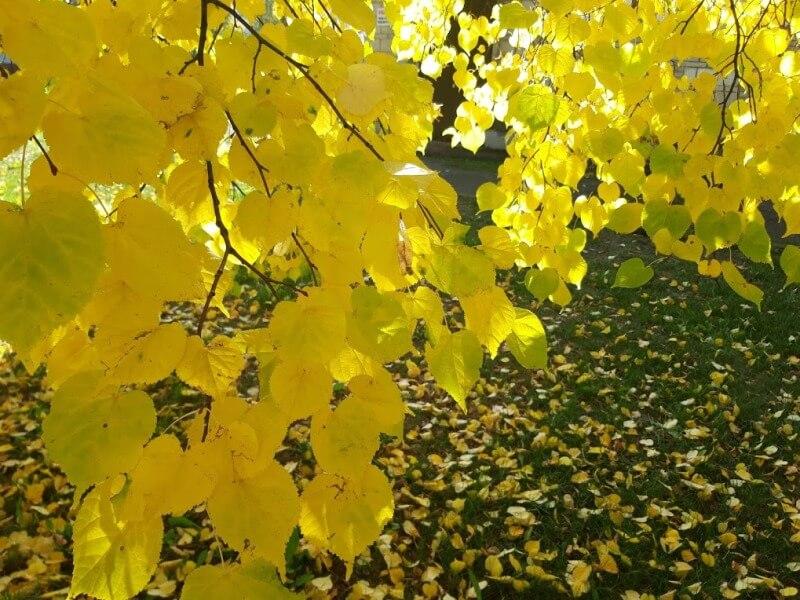 Осеннее солнце сквозь желтые листья